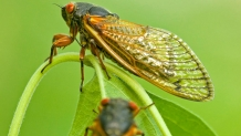 Periodical cicadas, like these, remain underground for years before emerging into the sunlight, where they spend weeks callingfor mates, mating and laying eggs for the next generation.